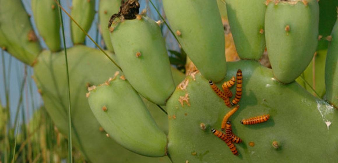 cactus moth